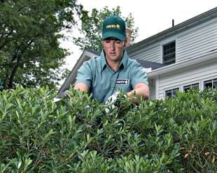 shrub pruning service