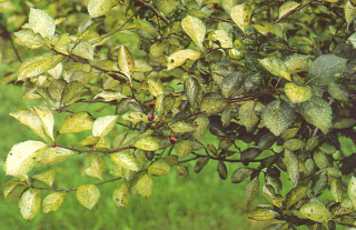 Lace bug's attack on leaves causes a bleached appearance