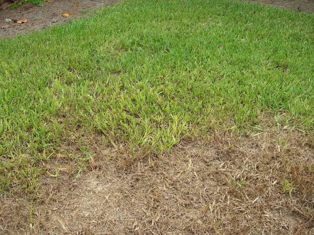 Chinch bug damage to lawns