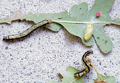California Oak Worm