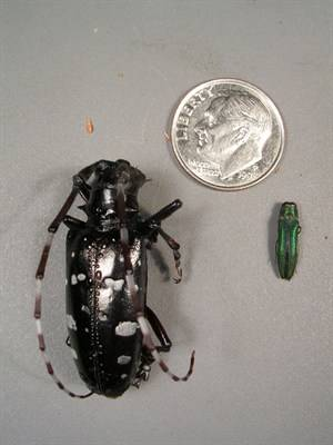 Emerald ash borer vs. Asian Longhorned beetle