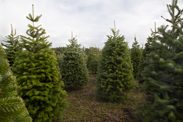 Tips For Picking the Perfect Christmas Tree