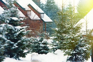 Snowy evergreen trees outside