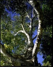 Mountain Paper Birch 2_jpg