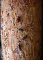 Pine Bark Beetles